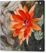 Orange Cactus Flower II Acrylic Print