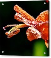 Orange Cape Honeysuckle Bush Blossom Acrylic Print