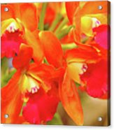 Orange Cattleya Orchid Acrylic Print