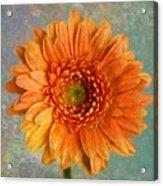 Orange Color Stroke Gerber Daisy Acrylic Print
