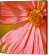 Orange Cosmo Acrylic Print