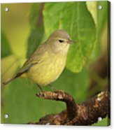 Orange Crowned Warbler Acrylic Print