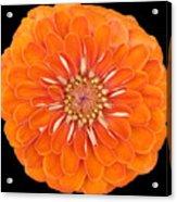 Orange Crush Zinia Acrylic Print