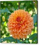 Orange Dahlia Master Gardeners Art Collection Baslee Troutman Acrylic Print