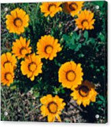 Orange Daisies--film Image Acrylic Print