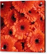 Orange Daisies Acrylic Print