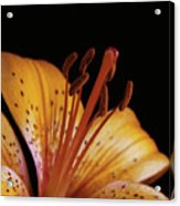 Orange Day Lilly On Black Acrylic Print
