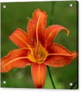 Orange Day Lily No.2 Acrylic Print