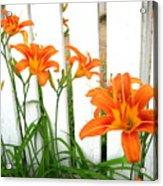 Orange Daylily At Colonial Williamsburg Acrylic Print