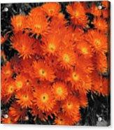 Orange Acrylic Print