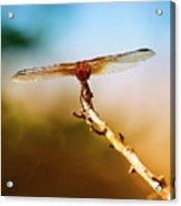 Orange Dragonfly Wings I Acrylic Print