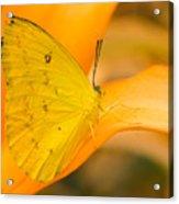Orange Emigrant Butterfly Acrylic Print