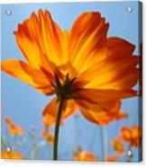 Orange Floral Summer Flower Art Print Daisy Type Blue Sky Baslee Troutman Acrylic Print