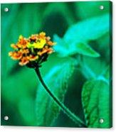 Orange Flower II Acrylic Print