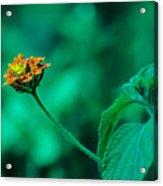 Orange Flower IIi Acrylic Print