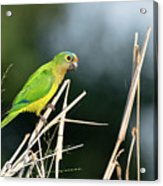 Orange-fronted Parakeet Acrylic Print