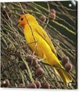 Orange Fronted Yellow Finch Panaca Quimbaya Colombia Acrylic Print