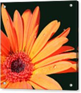 Orange Gerbera On Black Right Side  Acrylic Print