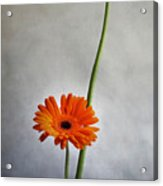 Orange Gernera Acrylic Print