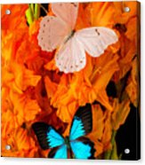 Orange Glads With Two Butterflies Acrylic Print