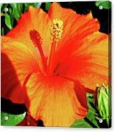 Orange Hibiscus Acrylic Print