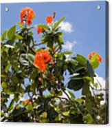 Orange Hibiscus With Fruit On The Indian River In Florida Acrylic Print