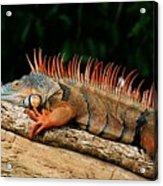 Orange Iguana Close Up Acrylic Print