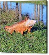 Orange Iguana Acrylic Print