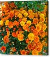 Orange Margarita Daisy Acrylic Print