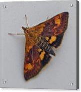 Orange Mint Moth - Pyrausta Orphisalis Acrylic Print