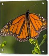 Orange Monarch Acrylic Print