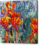 Yellow-orange Kangaroo Paws At Pilgrim Place In Claremont-california- Acrylic Print