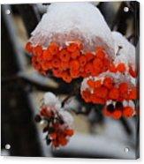 Orange Mountain Ash Berries Acrylic Print
