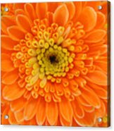 Orange Mum In Detail Acrylic Print