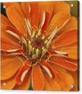 Orange Orange Orange Acrylic Print