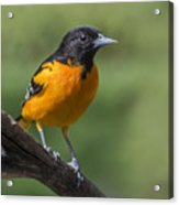 Orange Oriole Acrylic Print