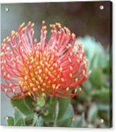 Orange Pincushion Protea Acrylic Print