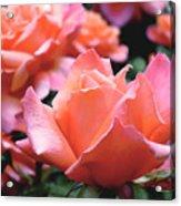 Orange-pink Roses  Acrylic Print