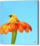 Orange Pop Flower Cafe Acrylic Print