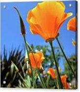 Orange Poppy Blue Sky Acrylic Print