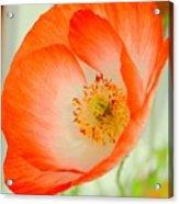 Orange Poppy Offering Nectar Acrylic Print