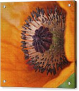 Orange Poppy With Texture Acrylic Print