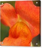 Orange Pout 2 Acrylic Print