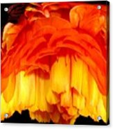 Orange Ranunculus Polar Coordinate Acrylic Print