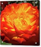 Orange Red Rose Flower Art Prints Giclee Baslee Troutman Acrylic Print