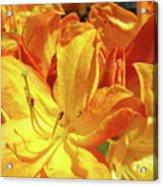 Orange Rhodies Flowers Art Rhododendron Baslee Troutman Acrylic Print