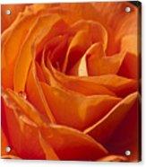 Orange Rose 2 Acrylic Print