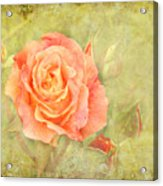 Orange Rose With Old Paint Texture Background Acrylic Print