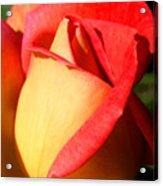 Orange Rosebud Acrylic Print