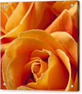 Orange Roses Acrylic Print by Garry Gay